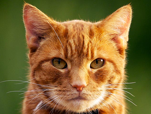 140272627-grooming-needs-senior-cat-632x475